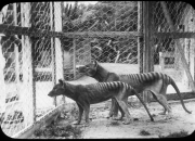 The Edit: Experts demystify dog-like Tasmanian tiger