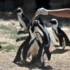 South Africa's endangered penguins found dead with bee stings to eyes