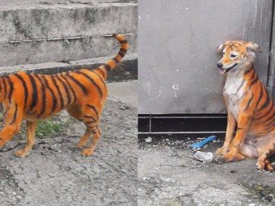 """狗狗被染色成""""老虎"""" 大马动物协会悬赏提供情报者"""