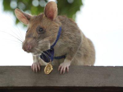 找到大量地雷炸药立大功!巨颊囊鼠获英勇勋章