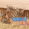 三只马来亚虎幼崽萌萌亮相!太平动物园即日起开放参观