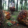 Study: Indonesia palm oil deforestation exposing firms to US$10b of risks