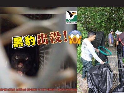 咬死森州村民家畜 PERHILITAN捕获一只黑豹!