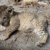 Lion cub Simba born in Singapore via artificial insemination (VIDEO)