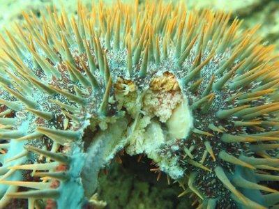 Coral reefs at Sabah's Tunku Abdul Rahman Marine Park in danger following aggressive crown-of-thorns starfish outbreak