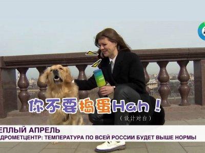 """俄记者户外直播 黄金猎犬突""""抢麦""""窜逃视频爆红!"""