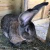 Guinness World Records' longest rabbit living reported stolen from UK home