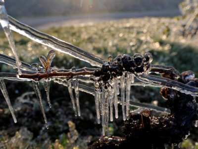 Frost damage could cut French wine output by a third