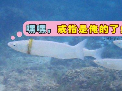 澳男到海湾游泳弄丢婚戒 竟然套在小鱼身上!