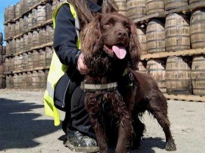 Whisky-sniffing dog hunts bad casks