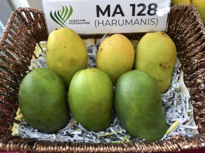 Harumanis mangoes record RM22m in online sales, says Agriculture Dept D-G