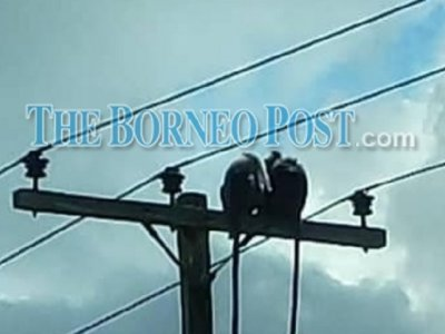 Monkey business causes outage in Sarawak's Matu Daro district