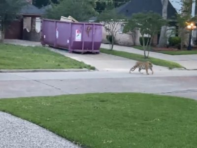 Bengal 'pet' tiger terrifies Texas residents after escaping from owner's home (VIDEO)