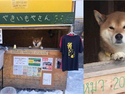 超萌的健君走了!北海道卖烤番薯摊柴犬病逝