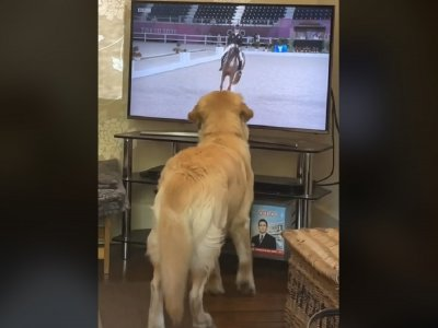 Adorable Golden Retriever thinks it's a horse, copies Olympic dressage on TV