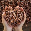New cocoa fruit drink to make hot chocolate a has bean