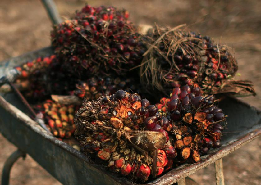 Palm oil fruits are seen placed on a wheelbarrow at a palm oil farm in Klang February 19, 2014. — Reuters pic