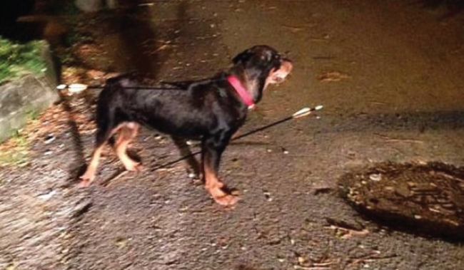 Arrows seen protruding from the dog who was wearing a red collar. — Picture courtesy of Malaysian Dogs Deserve Better