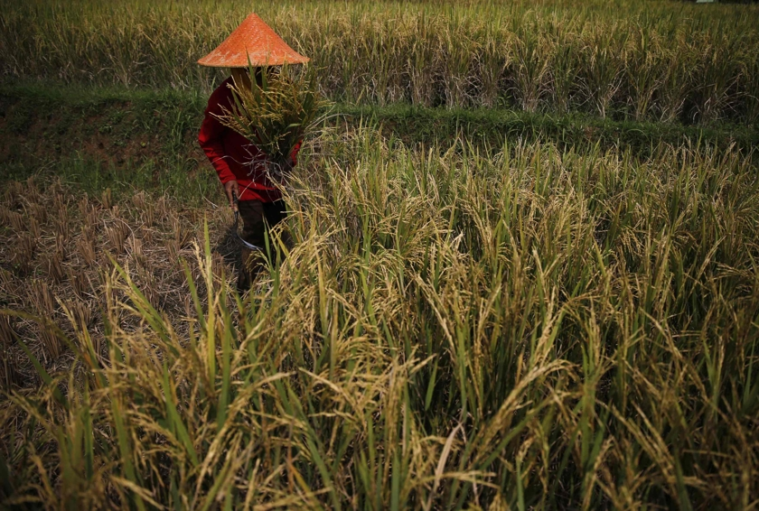 Indonesia and Bangladesh are the largest producers of rice in the OIC, followed closely by Pakistan, making a good case for this. — Reuters pic