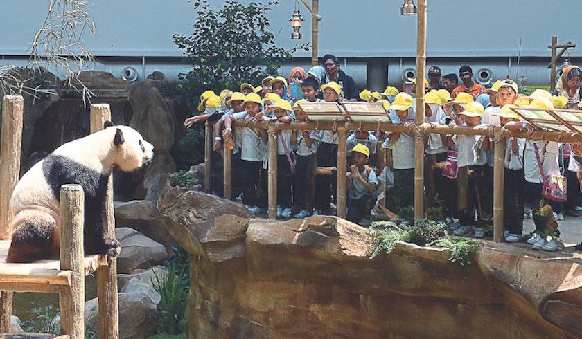 Pupils from SK Kampung Lindungan, Petaling Jaya, get a close look at one of the pandas. The Giant Panda Conservation Centre will open to the public tomorrow. — Picture by Razak Ghazali