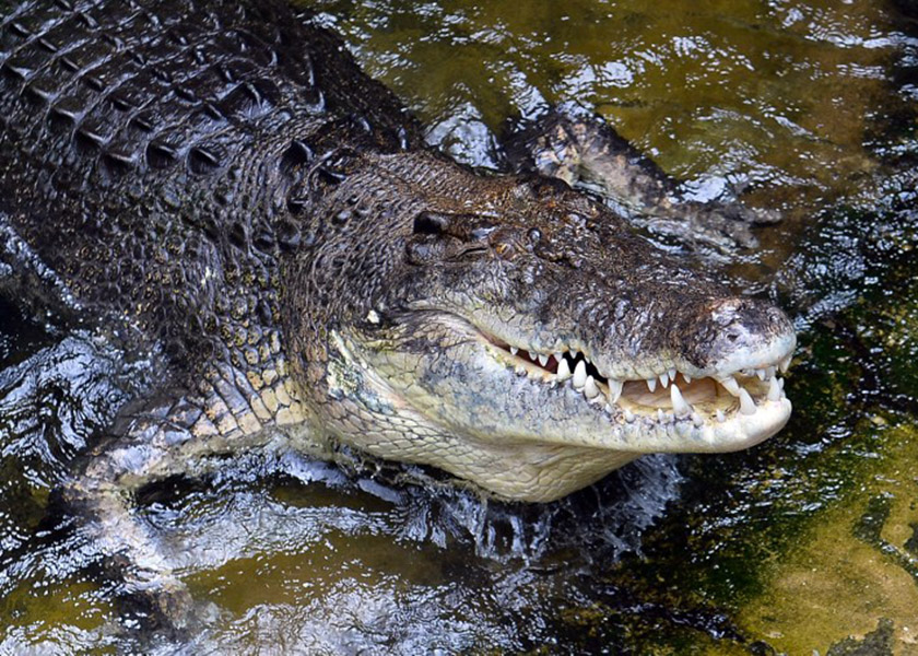Contact Sarawak Forestry Corp if you spot crocodile instead of taking video for social media, public told