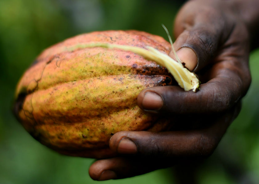 A man holds a cocoa fruit at a family run plantation in Kenama on November 16, 2014. — AFP pic
