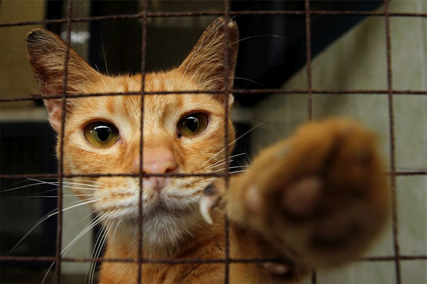 According to Malaysian Animal Welfare Association (MAWA) founder Mukunnan Sugumaran, the trap, neuter and release (TNR) method of addressing strays is still not endorsed nationwide. — Picture by Yusof Mat Isa