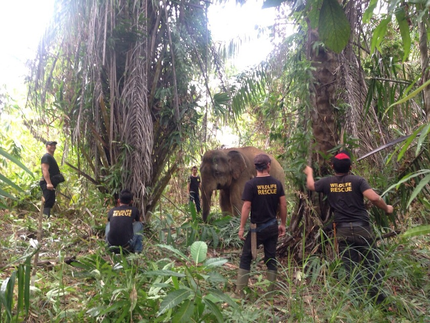 Sabah is known as the home to many endemic wildlife such as orangutan, Bornean elephants and Rhinoceros, sun bears, wild cats and other animals which carry value in the wildlife trafficking industry. —Picture courtesy of Sabah Wildlife department