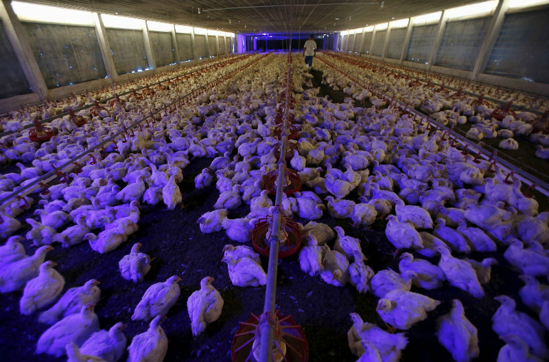 A worker looks after chickens as lights are dimmed and classical music by Mozart is being played in the background at Kee Song Brothers' drug-free poultry farm in Yong Peng, in Johor April 16, 2015. — Reuters pic