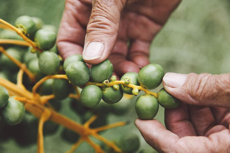 Robert Lower uses traditional methods for hand-pollinating, pruning and ripening.