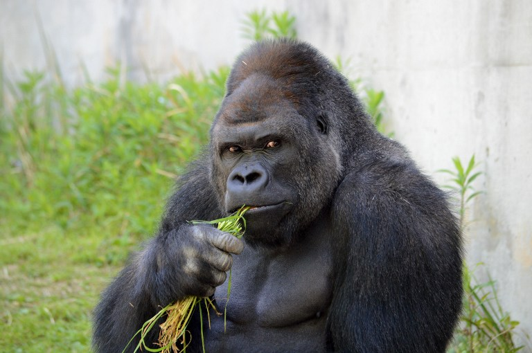Can you resist the brooding good looks and rippling muscles of this hunky gorilla? — AFP pic