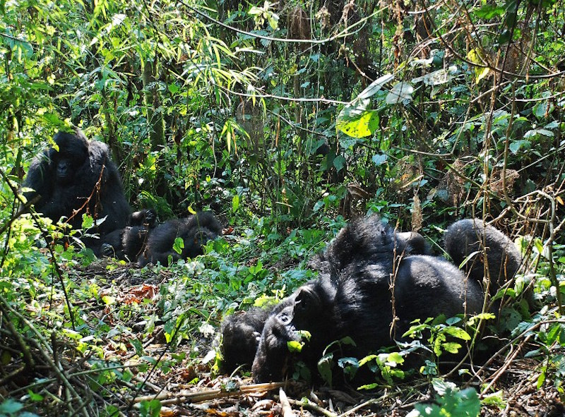 A photo taken on August 1, 2015 shows mountain gorillas in the jungle at Bukima in Virunga National Park, eastern Democratic Republic of Congo. — AFP pic