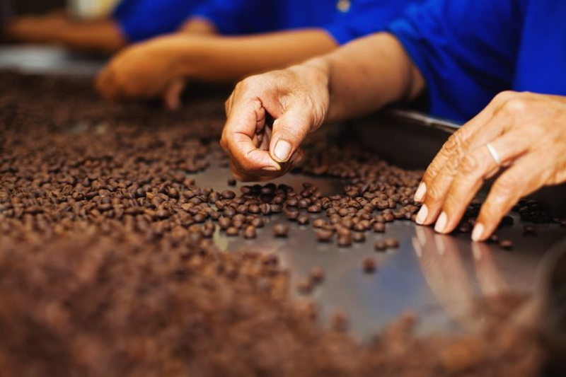 Deputy director-general of the Department of Agriculture (Management and Regulatory), Datuk Zahimi Hassan said currently, there were only about 2,000 coffee growers in Malaysia, especially in Kedah, Johor and Sabah. The majority of coffee varieties grown are liberica and robusta. — AFP pic