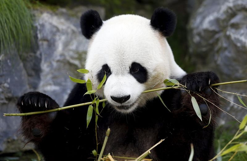 Efforts to protect the giant panda have failed to safeguard large mammals sharing its habitats. — Reuters pic