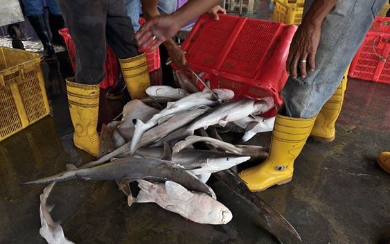 Datuk Seri Masidi Manjun said the government will work with stakeholders to ensure there is continued momentum against shark hunting and finning by bringing the message right to the people. — Picture courtesy of Jason Isley/scubazoo.com