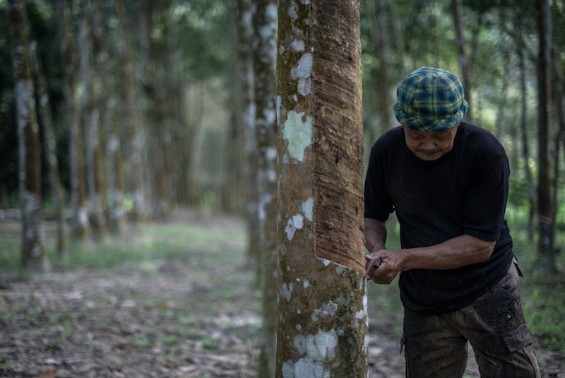 A worker collects raw latex from a rubber tree at a plantation in Pahang January 12, 2016. — AFP pic
