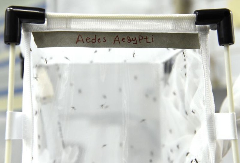 This file photo taken on February 10, 2016 shows mosquitoes of the kind 'Aedes aegypti' at the IAEA Laboratories in Seibersdorf near Traiskirchen south of Vienna, Austria. — AFP pic