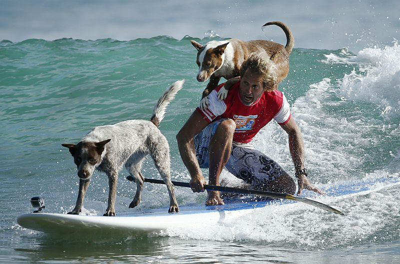 Australian dog trainer and former surfing champion Chris de Aboitiz rides a wave with his dogs Millie (left) and Rama off Sydney's Palm Beach, February 18, 2016. — Reuters pic