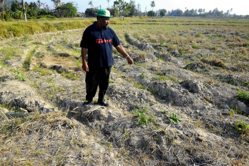 Abdul Rashid might not replant his padi field after it dried up. — Picture by R. Mahgeshan