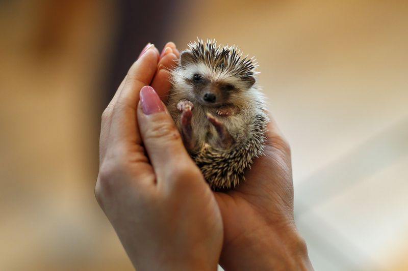 The resident hedgehog was offered reprieve from the cold with its 'stand-in'. — Reuters pic