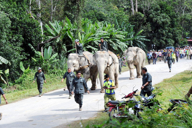 File picture of elephants being relocated in Gerik, Pahang. — Bernama pic