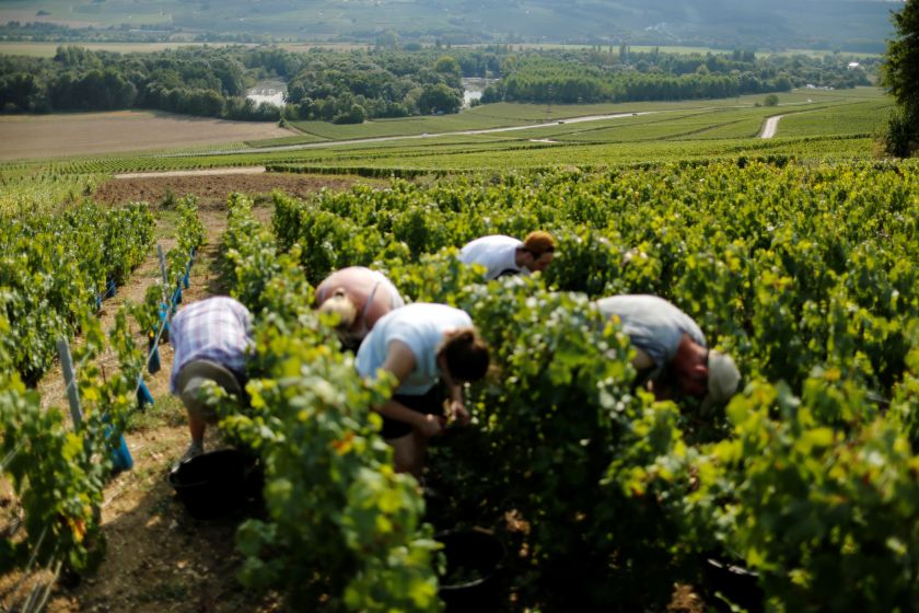 Grape pickers harvest fruit from the vines at the Geoffroy vineyard during the traditional Champagne wine harvest in Ay, France, September 24, 2016. — Reuters pic