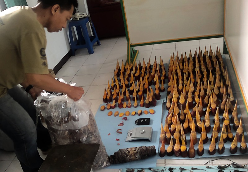 In this handout photograph taken on April 26, 2013 and released by the Forest Police Rapid Reaction Unit (SPORC) shows various hornbill ivory seized by SPORC at their headquarters in Pontianak, West Kalimantan province. — AFP pic