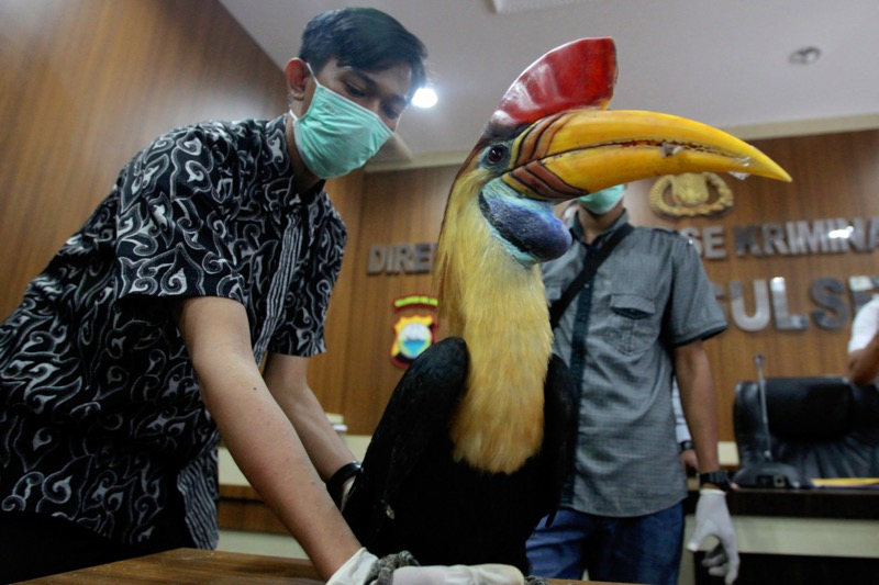 This picture taken on September 9, 2016 shows plain clothes police displaying a stuffed hornbill trophy seized from smugglers in Makassar, South Sulawesi province. — AFP pic