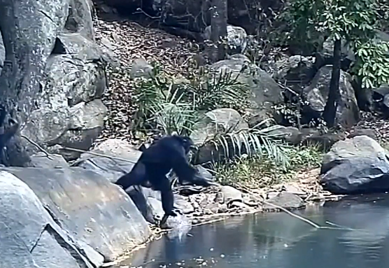 The chimps' choice of longer, sturdier rods to go fishing in deeper water suggest they are capable of solving problems. — Screen capture from Reuters video