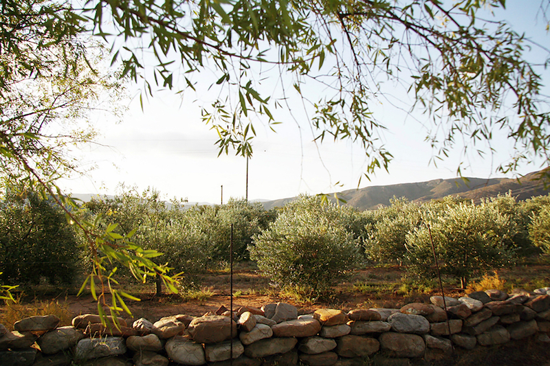 South Africa's extra virgin olive oils are beginning to turn global heads. — Picture courtesy of Lettas Kraal via Reuters