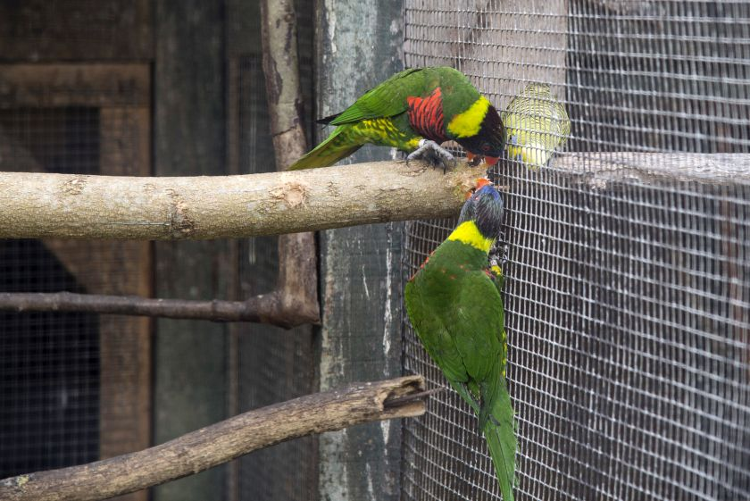 Parakeets at the Penang Bird Park. — Picture by K.E.Ooi