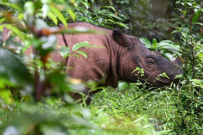 Studies have found that the Sumatran rhinoceros is no longer been sighted in Sabah. — AFP file pic