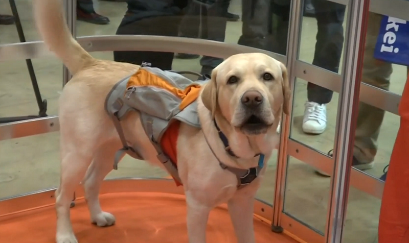 A screen capture of the video showing a dog wearing a garment designed to detect pets' bodily movements, gathering data for their owners via a phone app.
