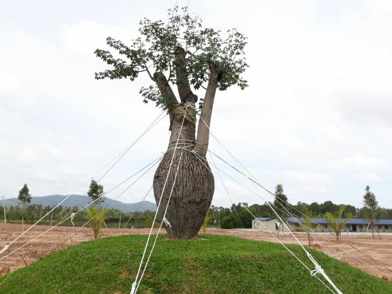 The Ceiba Chodatii tree became the centre of a controversy after state Opposition questioned the expenditure to import it from Brazil to be transplanted here. — Picture via Facebook/Zakaria Dagang